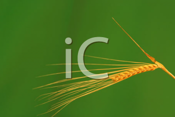 Royalty Free Photo of Grains