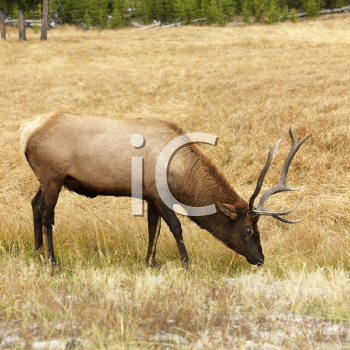 Royalty Free Photo of a Male Elk Grazing on Grass at Yellowstone National Park, Wyoming