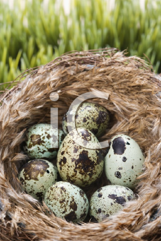 Royalty Free Photo of Speckled Eggs in a Nest