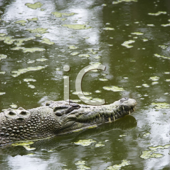Royalty Free Photo of a Crocodile Swimming in Water in Australia