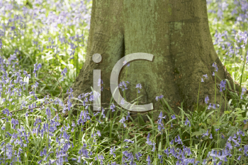Royalty Free Photo of Bluebells in a Woodlot