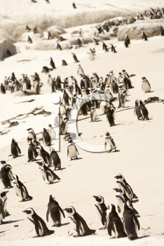 Royalty Free Photo of a Penguin Colony