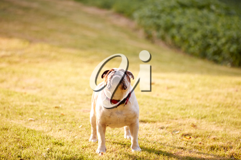 Pet Bulldog Playing On Grass Lawn In Evening Light