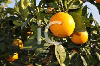 Royalty Free Photo of an Orange Tree