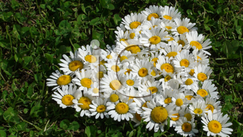 Royalty Free Photo of a Group of Daisies in a Heart Shape