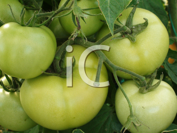 Royalty Free Photo of Green Tomatoes