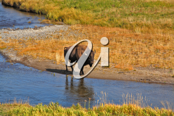 Bison go on a watering place in Yellowstone national park
