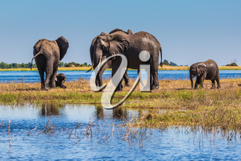 The oldest national park in Botswana - Chobe National Park. Watering in the Okavango Delta, Africa. Herd of elephants adults and cubs crossing river in shallow water