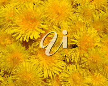 Blossoms of Taraxacum officinale background
