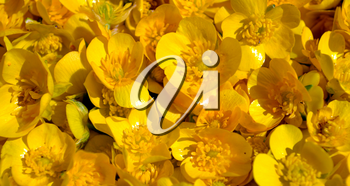 Ranunculus repens (the creeping buttercup) flowers background