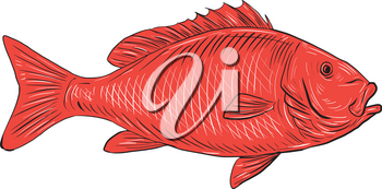 Drawing sketch style illustration of an Australasian snapper, silver seabream, Pagrus auratus, a species of porgie found in coastal waters of Australia, Philippines, Indonesia, China, Taiwan, Japan an