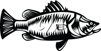 Retro style Black and White illustration of Saltwater Barramundi or barramundi, Asian sea bass (Lates calcarifer), a species of catadromous fish viewed from side on isolated background.