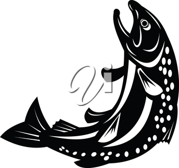 Retro style illustration of a Spotted or speckled trout Fish Jumping on isolated background done in black and white.