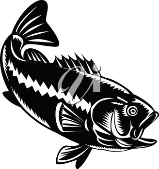 Illustration of a largemouth bass (Micropterus salmoides), species of black bass and a carnivorous freshwater gamefish, diving down done in retro woodcut black and white style.