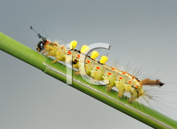 Royalty Free Photo of a Small Caterpillar With Hair on a Blade of Grass