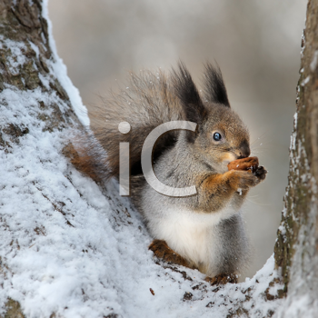 Royalty Free Photo of a Squirrel With a Nut in a Tree