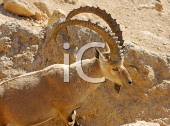 Royalty Free Photo of a Mountain Goat at Makhtesh Ramon, a Unique Crater in Israel