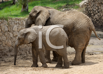 Royalty Free Photo of a Parent and Baby Elephant