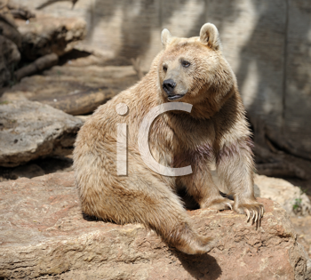 Royalty Free Photo of a Bear