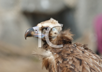 Royalty Free Photo of a Vulture's Head