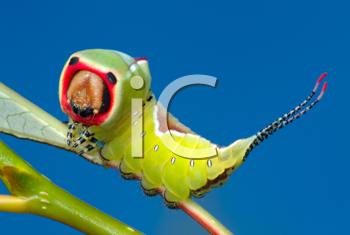 Royalty Free Photo of a Big Bright Caterpillar of Butterfly Cerura Vinula