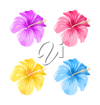 Illustration Set of Colorful Hibiscus Flowers Blossom Isolated on White Background - Vector