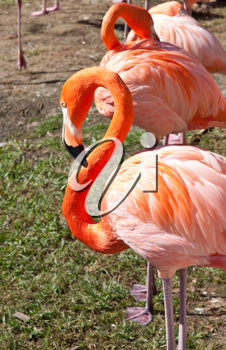 A group of pink flamingos