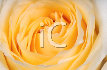 Royalty Free Photo of a Yellow Rose