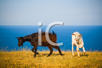 Royalty Free Photo of Goats on a Hill in Front of the Black Sea