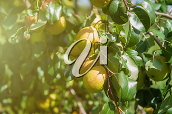 Pear tree with pears, organic natural fruits in a garden