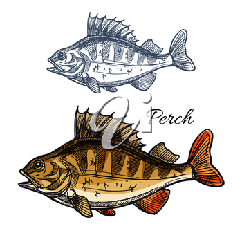 Perch fish sketch. Bass freshwater predatory game-fish with spiny dorsal fin isolated symbol. Fishing sport badge, fishery industry, fish market and seafood menu design