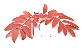 Red autumn rowan-berry leafs. For design