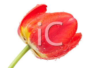 Royalty Free Photo of a Red Tulip
