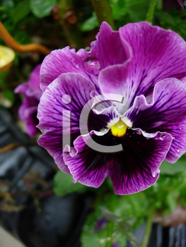 Royalty Free Photo of a Pansy