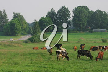 Royalty Free Photo of Cows Grazing in a Meadow