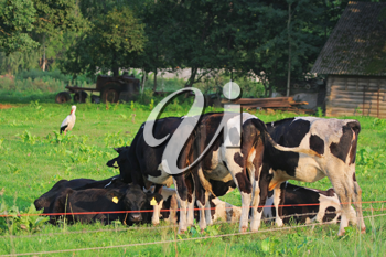 Royalty Free Photo of Grazing Cattle