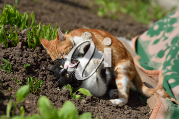 Two cats staged a fight in the home garden.