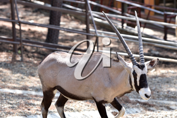 Beautiful Antilope Oryx in a special pen in the zoo of the city of Gelendzhik.