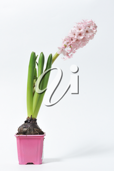 Beautiful and fresh hyacinth of pink color in a pot on a white background.