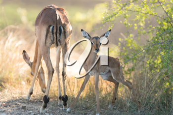 Impala calf, baby impala antelope in the wilderness of Africa