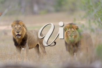 Male lion coalition in the wilderness of Africa