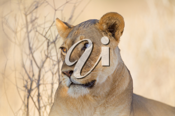 Female lion in the wilderness of Africa