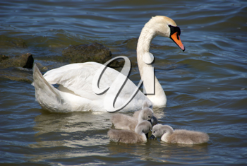 Royalty Free Photo of Swan and Babies