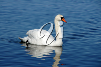 White swan on a background of  the sea