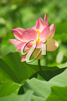 Royalty Free Photo of a Lotus Flower