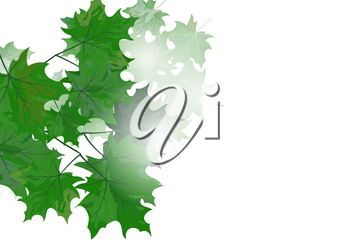 Summer maple leaves. EPS 10 vector illustration with transparency and meshes.