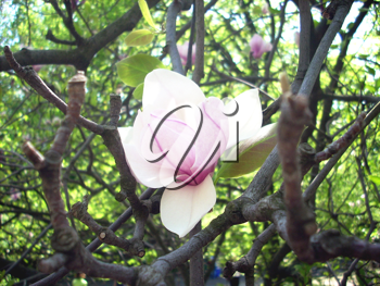 Royalty Free Photo of a Magnolia