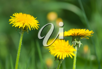 Royalty Free Photo of Dandelions Against Green