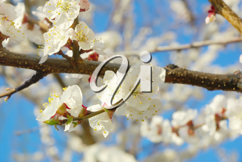 April garden natural tree branch. Spring white blossom. Seasonal blossoming tree springtime. Outdoor bloom closeup.