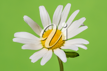 Chamomile flower blooming on green background